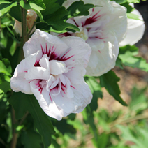 Hibiscus syriacus 'French Point' PBR 2