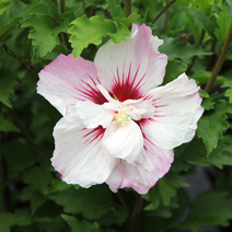 Hibiscus syriacus 'Pinky Spot' PBR 3