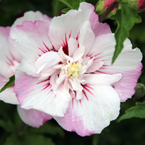 Hibiscus syriacus 'Pinky Spot' PBR 1