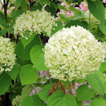 Hydrangea arborescens 'Incrediball' PBR 2