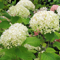 Hydrangea arborescens 'Incrediball' PBR 1