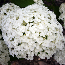 Hydrangea arborescens 'Incrediball' PBR 3