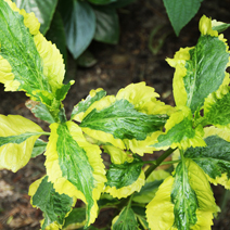 Hydrangea macrophylla 'Pirates Gold'