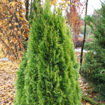 Thuja occidentalis 'Filips Magic Moment'® 6