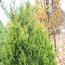 Thuja plicata 'Collyers Gold'
