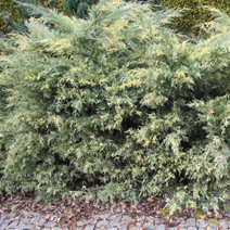 Juniperus x pfitzeriana 'Blue and Gold' (J. media 'Blue and Gold') 7