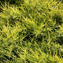 Juniperus chinensis 'Kuriwao Gold'