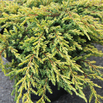Juniperus communis 'Goldschatz' 8