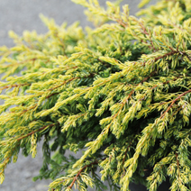 Juniperus communis 'Goldschatz' 6