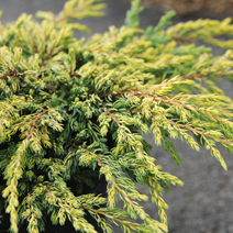 Juniperus communis 'Goldschatz' 9