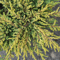 Juniperus communis 'Goldschatz' 1