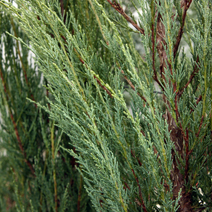 Juniperus scopulorum 'Skyrocket' 3