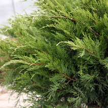 Juniperus x pfitzeriana 'Mint Julep' (J. media 'Mint Julep') 2