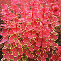 Berberis thunbergii 'Orange Sunrise' PBR 2