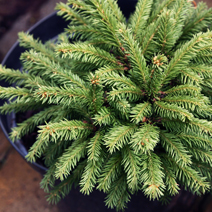 Picea abies 'Barryi' 1