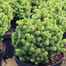 Picea abies 'Jalako Gold'