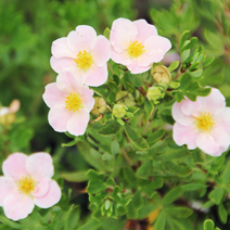 Potentilla fruticosa 'Lovely Pink' ® PBR (P. f. 'Pink Beauty') 2