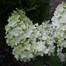 Hydrangea paniculata 'Magical Moonlight' 2