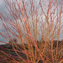 Cornus sanguinea 'Winter Beauty' 2