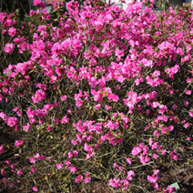 Rhododendron   dauricum 'Staccato'