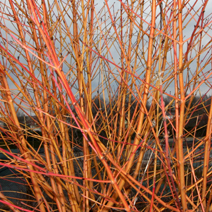 Cornus sanguinea 'Winter Beauty' 3