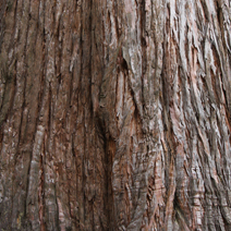 Sequoia sempervirens 1