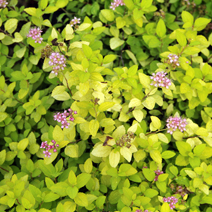 Spiraea japonica 'Golden Carpet' PBR