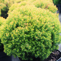 Thuja occidentalis 'Anniek' PBR