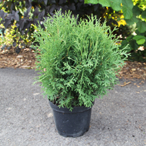 Thuja occidentalis 'Tiny Tim' 3