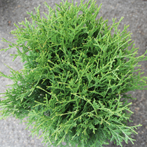 Thuja occidentalis 'Tiny Tim' 2
