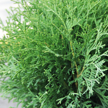 Thuja occidentalis 'Tiny Tim' 1