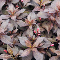 Weigela florida 'Midnight Wine' PBR