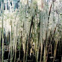 Rośliny pokryte lodem - ochrona przed przymarznięciem.