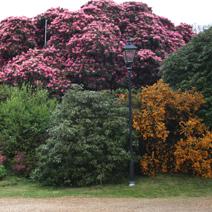 Zdj. nr 4Kwitnące różaneczniki.