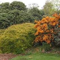 Zdj. nr 5Kwitnące berberysy (pomarańczowe).