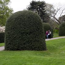 Zdj. nr 1Ilex aquifolium - cięty.
