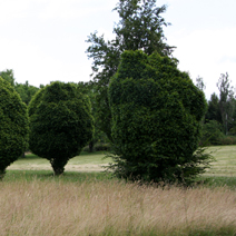 Zdj. nr 2Carpinus betulus - formowany.