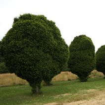 Zdj. nr 3Carpinus betulus - formowany.