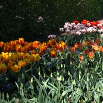 Zdj. nr 6Rabaty tulipanowe