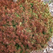 Zdj. nr 20;Picea glauca 'Conica'- silna oparzelina słoneczno-mrozowa igieł.