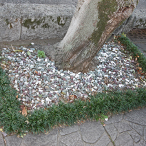 Zdj. nr 7;Zabezpieczenie drzewa na chodniku