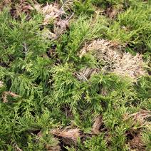 Zdj. nr 16;Juniperus x pfitzeriana 'Old Gold' - porażony przez Botrytis cinerea.