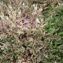 Zdj. nr 14;Juniperus horizontalis 'Glauca' - porażony przez Botrytis cinerea.