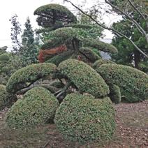 Zdj. nr 20;Juniperus chinensis