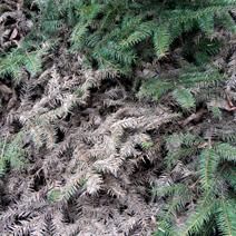 Zdj. nr 19;Picea abies 'Procumbens' - porażony przez Botrytis cinerea.