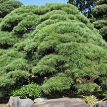 Zdj. nr 24;Pinus densiflora