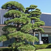 Zdj. nr 25;Pinus densiflora