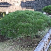 Zdj. nr 27;Pinus densiflora