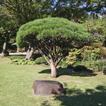 Zdj. nr 28;Pinus densiflora