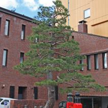 Zdj. nr 23;Pinus densiflora
